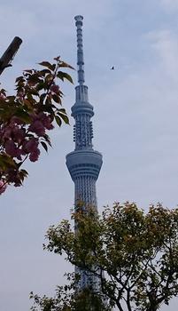 068 八重桜.jpg