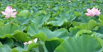 1036 蓮の花.jpg