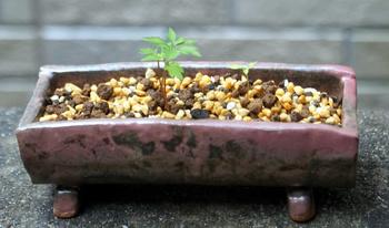 1141 鉢植え.jpg