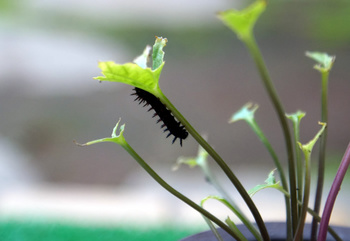 1183  幼虫 .jpg