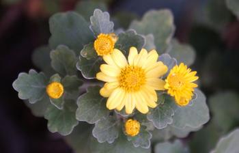 1497 黄色小菊 .jpg