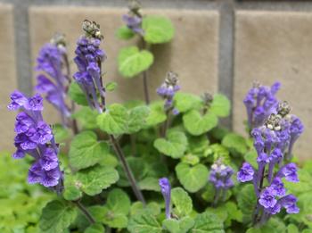 600  立浪草紫 3556.jpg
